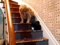 「惡霸貓」擋在樓梯間 嚇得黃金獵犬不敢下樓
