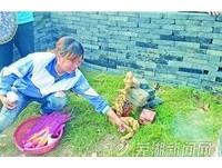 安徽蕪湖發現詭異生物 形體似生薑民眾燒香磕頭