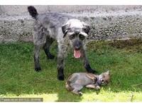 獵犬「巴尼」與狐狸「佛瑞斯」迅速結為好友。(圖/ Gwel an Mor / Barcroft Media/ CFP)