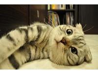 摺耳貓可愛又純?其實是基因缺陷 可能年輕就發病癱瘓