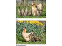 真版《醜小鴨》 母雞孵出5隻鴨照養