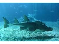 海生館飯匙鯊「小波波」 撒嬌示好超討喜。(圖/屏東海生館)