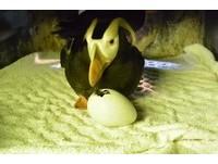 寶寶啄殼。(圖/海生館)