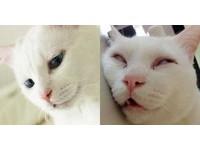「貓界絕美男神」睡著變喪屍 崩壞睡顏要出寫真啦!