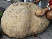 巴西農婦種出80公斤「哥吉拉馬鈴薯」!捐作研究