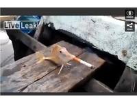 「根本煙燻魚!」 強逼魚抽菸殘忍影片遭砲轟