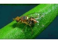 台生發明「處女果蠅收集器」 分辨省時又省力