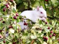 動物奇聞/超罕見「白化松鼠」現蹤 增肥祈禱平安過冬