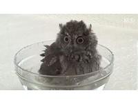 真的好萌!碗裡戲水超開心 貓頭鷹寶寶愛上洗澎澎
