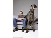 【影】世界最「大隻狗」身長2.2公尺 愛睏要睡雙人床