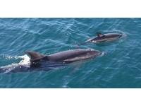 罕見! 喪子瓶鼻海豚母愛氾濫 領養另一品種海豚