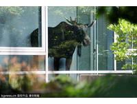 迷路了嗎? 駝鹿闖入德國西門子 呆立窗前賞景