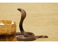 放生求福報?陸男在越南放10袋毒蛇...包括「眼鏡王蛇」