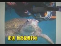 硬拉綠蠵龜後腳共游 小琉球潛水客脫序騷擾!