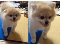 博美犬到奶奶家作客偷戴假牙 網友:笑得好邪惡啊!