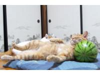 虎斑貓「茶虎」睡西瓜枕消暑 涼到翻過去