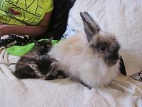 短暫親子情! 兔子「孵化」兩隻貓 自願當中途媽媽