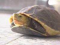 大陸人瘋吃龜 惡賊竟闖國家公園偷抓101隻保育食蛇龜
