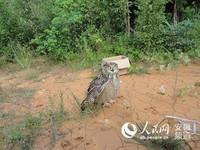 貓頭鷹飛進養雞場 嚇死500隻小雞! 老闆:別殺牠