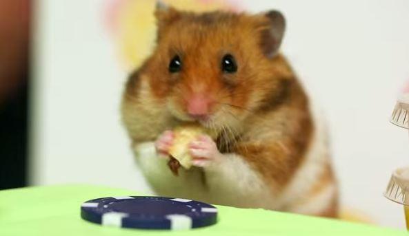 烈的「顶尖对决」之后这位来自日本的强者不敌可爱的小仓鼠