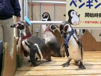 「企鵝站長」報到! 推動當地水族館觀光潮