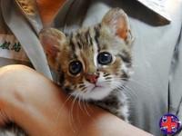 石虎、雲豹將會消失! 26種瀕臨滅絕的貓科動物