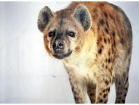 韓國送的鬣狗情侶不嘿咻 日動物園一查…竟然都公的!