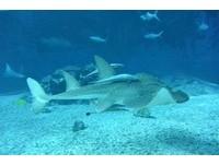 鮣魚背鰭演化變吸盤,仰躺與群體跟隨。(圖/海生館提供)