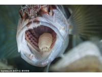 金線魚嘴藏「縮頭魚虱」 寄生吸血最後完全取代魚舌頭!