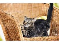防貓抓咬破壞家具 引導磨爪、定期剪指甲