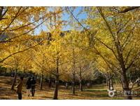 感人!為妻子而種的銀杏林 金黃葉脈成山中最美景色