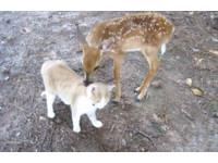 瘦弱小鹿被救起 和鄰居貓咪變成好友!