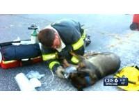 消防員一個轉念 火災窒息狼犬恢復呼吸救回一命
