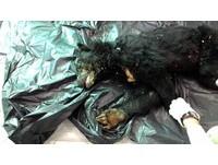 台東向陽山屋附近死亡台灣黑熊,交由屏科大「黑熊媽媽」黃美秀教授進一步判斷死因。(圖/取自台東林管處)