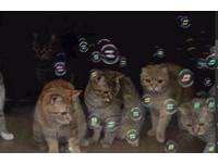 寵毛網/貓咪好奇看肥皂泡泡 專注表情超可愛!