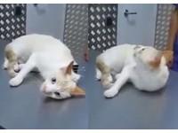被夾住後頸立刻石化 貓清醒後抬頭「我剛剛是怎麼了」