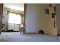 貓奴陪貓玩正港「躲貓貓」 喵星人嚇到彈飛半天高