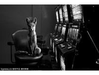 攝影師獵奇:野生動物闖入城市 被可愛又詭異石化了!