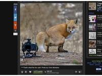 「哼!再偷拍阿」 小狐狸在鏡頭前便便還不忘轉頭吐舌