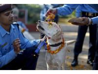 人類最忠實的朋友! 尼泊爾「印度節」灑花謝狗