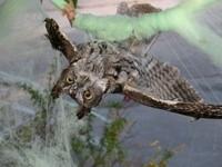 萬聖節佈置未收 貓頭鷹卡在「蜘蛛網」動彈不得!