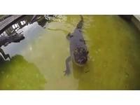 發現被偷拍! 鱷魚「狠瞪」攝影機3秒後張嘴直撲