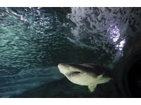 菲律賓男捕獲巨型虎鯊 剖腹後驚見一顆人頭一隻腿