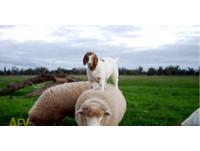 綿羊背當山壁一直跳! 小羊:媽,從這裡可以看到我家