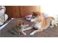 不要過來! 柴犬寶寶對老媽隔空揮舞肥短腿