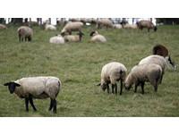 男大生「人獸交」紓壓 加州州大母羊慘遇害