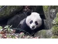 疑被黃喉貂咬破肚皮 3歲熊貓跑到保護站求救