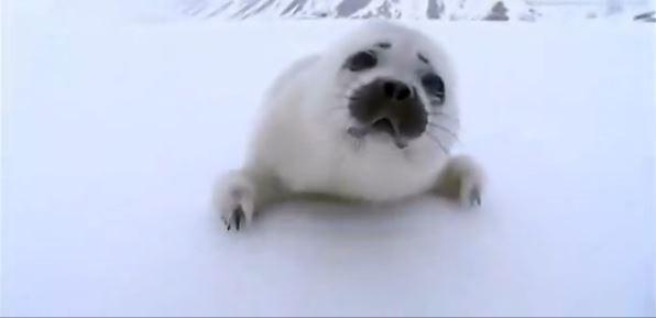 萌得太不到!迷路小海豹找犯规妈妈图片超无助带小的搞笑字表情猪图片