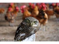 30多隻放山雞不翼而飛 從犯竟是呆萌貓頭鷹