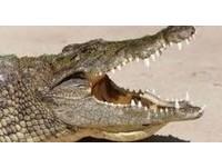 「湖中沒魚所以吃人」 烏干達鱷魚生吞撿木材孕婦